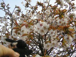 桜080519.jpg